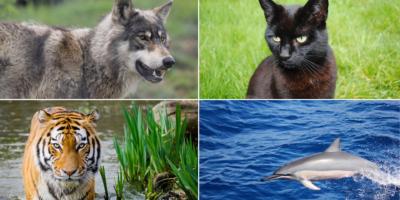 Wolf, black cat, tiger, dolphin