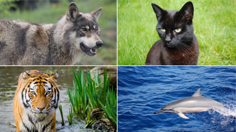Wolf, black cat, tiger, dolphin